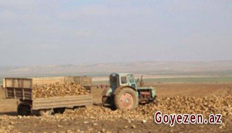 Qazaxlı fermerlər çuğundur istehsalını artırırlar
