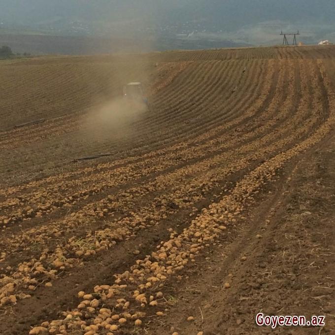 Qazaxda kartof yığımına başlanılıb